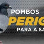 Quem avisa amigo é: pombos são um perigo para a saúde!